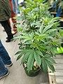 Seedling cannabis plants.jpg