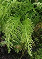 Selaginella pallescens var. aurea kz04.jpg