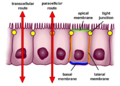 Selective permeability routes in epithelium.png