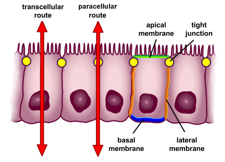 Scheme of selective permeability routes of epithelial cells (red arrows). The transcellular (through the cells) and paracellular (between the cells) routes control the passage of substances between the intestinal lumen and blood.