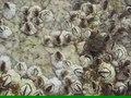 File:Semibalanus balanoides upernavik 2007-07-05.ogv