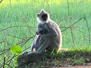 Südlicher Hanuman-Langur (Semnopithecus priam)