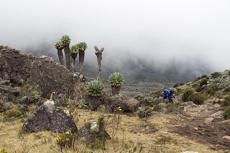 File:Senecio kilimanjari Tanzania.jpg