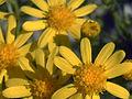 Senecio malacitanus Enfoque 15-10-2008 Illora.jpg
