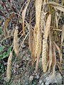 Setaria italica subsp. italica sl14.jpg