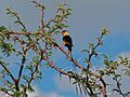 Shaft-tailed Whydah (Vidua regia) (7000402705).jpg