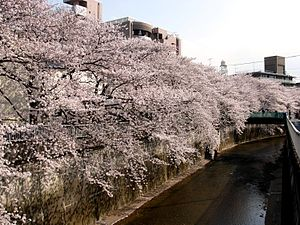 Shakujii River - Shakujii River and cherry blossoms