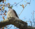 Sharp-shinned Hawk (16194502059).jpg