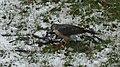 Sharp-shinned Hawk (Accipiter striatus) - Mississauga, Ontario 01.jpg