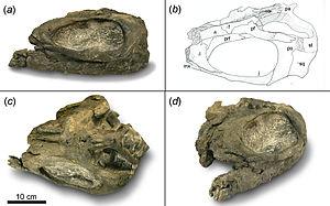 Shastasaurus - Partial skull of Shastasaurus pacificus (UCMP 9017)