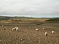 Sheep Feeding on Turnips - geograph.org.uk - 351823.jpg