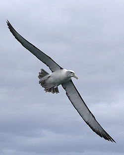 Shy albatross in flight