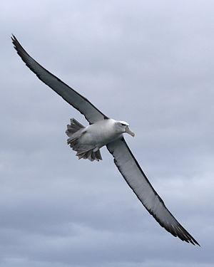 Shy albatross - Shy albatross frequently follow fishing boats