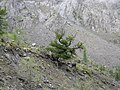 Siberian Pine, Altai Mountains 1.jpg