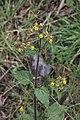 Sigesbeckia jorullensis (Asteraceae) (32175063078).jpg