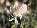 Silene vulgaris ssp. vulgaris PID1503-2.jpg