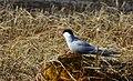 Silvertärna Arctic Tern (20342000952).jpg