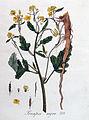 Sinapis nigra — Flora Batava — Volume v4.jpg