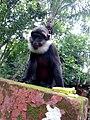 Singe mal du sanctuaire des singes de Drabo à Calavi.jpg