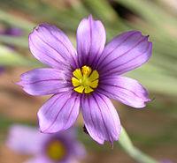 Sisyrinchium bellum flower 2002-10-10