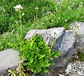 Sitka valerian - Flickr - brewbooks.jpg