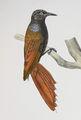 Sittasomus griseicapillus Castelnau.jpg
