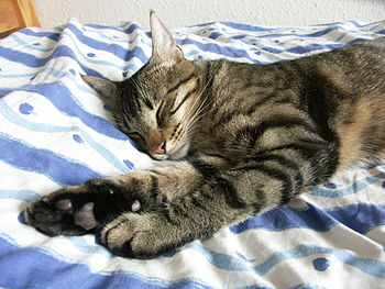 English: Sleeping male cat. A young cat of 1 y...