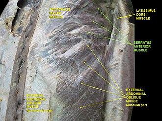 Serratus anterior muscle - Image: Slide 2rom