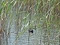 Small Prespa Lake 2019-06-01 40.jpg