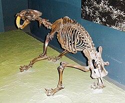 加州劍齒虎的骨骼化石。