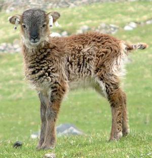 A Soay sheep lamb on the Scottish island of Hirta.