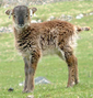 Soay sheep lamb.png