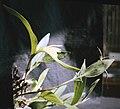 Sobralia fragrans - pl 2.jpg