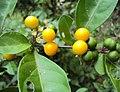 Solanum diphyllum 03.JPG