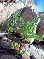 Solanum dulcamara 01.jpg