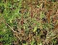 Solanum nigrum 20091015 1.jpg