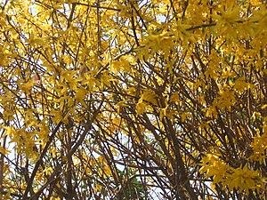 Some yellow flowers: Forsythia x intermedia