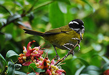 Sooty-capped Bush-tanager.jpg