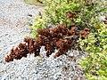 Sorbaria sorbifolia 2017-05-16 0356.jpg