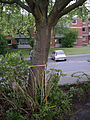 Sorbus-aria-goe02.jpg