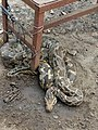 South Indian Python at Srikakulam district.jpg