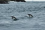 South Shetland-2016-Elephant Island (Point Wild)–Chinstrap penguin (Pygoscelis antarctica) 01.jpg