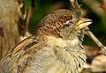 Sparrow in Kiev7.JPG