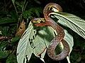 Speckle-bellied Keelback (Rhabdophis chrysargos) (6748153341).jpg