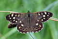 Speckled-Wood-(5).JPG