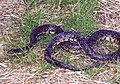 Speckled king snake lampropeltis getula holbrooki stejneger.jpg