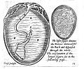 Speculum matricis, 1671; embryo Wellcome L0014383.jpg