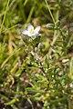 Spergularia media-subsp-angustata baie-authie 80 15072007 1.jpg