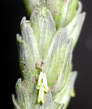 Caryopsis - Image: Spiklet