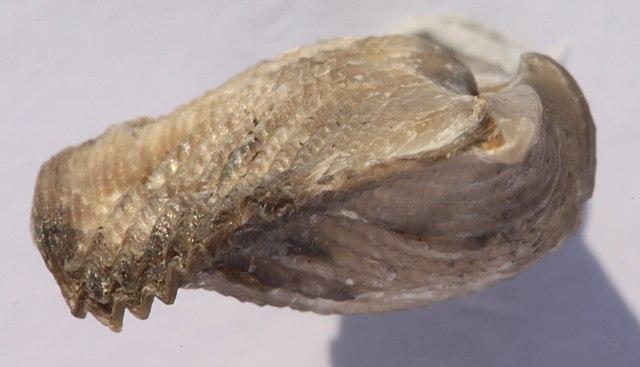 Skamenená lastúra